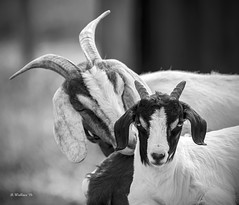 Brian_Whisper Sweet Nothings 1 LG BW_042216_2D (starg82343) Tags: park blackandwhite bw animals outside outdoors blackwhite kid md farm farming maryland goat monotone domestic goats grayscale 2d farmanimals domesticated animalportrait millersville kinderfarmpark brianwallace kinderfarm millersvillemaryland