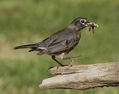 Robin (AllHarts) Tags: robin memphistn backyardbirds
