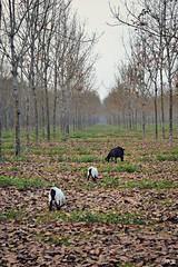 into the wild (Shajib Zaman) Tags: forest perspective rubber goats sylhet bangladesh srimangal