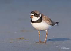 Semipalmated-Plover6 (Sherms Photo) Tags: birds canon bc tofino shorebirds 7dm2 shorebirdfestival2016