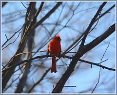 ^^^ Cardinal Solitude - II. ^^^ (Wolverine09J ~ 1 Million + Views) Tags: nature wildlife songbird redbird naturesgallery thebeautyofnature heartawards springcardinal cardinalperching level1allnaturesparadise redlevelno1 rainbowofnaturelevel1red earlyspringsixteen