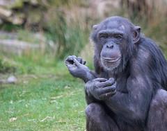 Chimpanzee 2016-04-06-0013 (BZD1) Tags: nature animal mammal natuur pan chimpanzee beeksebergen primates pantroglodytes chimpansee chordata synapsida hominidae commonchimpanzee hominini haplorhini