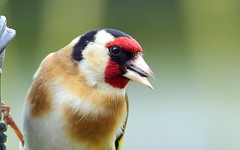 Goldfinch, Humbleton (cdwpix) Tags: goldfinch yorkshire feeder seeds east sunflower april holderness humbleton