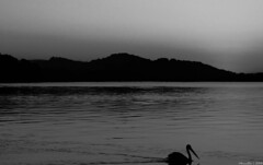 Dawn in black and white (Merrillie) Tags: sea sky blackandwhite mountains nature water monochrome sunrise dawn bay nikon scenery waterfront silhouettes australia pelican views nsw daybreak brisbanewater woywoy seaviews d5500 nswcentralcoast centralcoastnsw