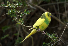 Lost and found? (SteveJM2009) Tags: uk yellow lost dorset budgerigar budgie april carpark bournemouth stevemaskell escaped escapee 2016 explored littledown