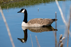 Signs of Spring (cotarr) Tags: leica reflection bird duck goose wpp cameraraw topazdenoise topazdetail vlux114 cc2015