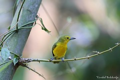 Great Iora (Vinchel) Tags: park bird nature animal cat canon is outdoor wildlife vietnam national ii l usm f28 tien 400mm 1dx