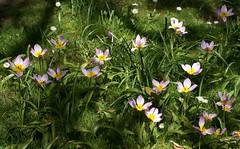 Palmengarten, Tulpen / tulips (tulipa bakeri Lilac  Wonder) (HEN-Magonza) Tags: nature flora frankfurt natur tulip palmengarten springtime tulipa frhling tulpe tulipabakerililacwonder