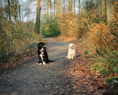 the boys (nils_karlson) Tags: dog chien colour 120 mamiya film mediumformat germany landscape fuji ishootfilm 120film perro hund rz67 colournegative c41 400h 110mm mamiyarz67 fujipro400h pro400h carlzeissbiometar80mm ukfilmlab ukfl rudigerthelandscapedog rdigerthelandscapedog
