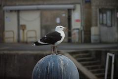 Ile d'Olron (Kusanar_NX) Tags: ocean ile plage charente mouette oiseaux olron nx500
