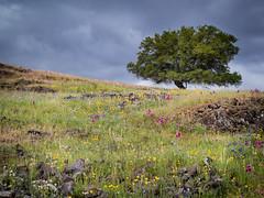 Wild (Lisa Ouellette) Tags: tablemountain spring oroville wildflowers volcanic precious vernalpools basalt oak plateau