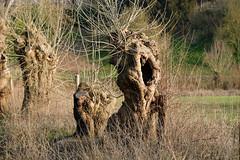 DSCF0576 (kuzdra) Tags: trees france tree spring village arbres arbre anjou   dene