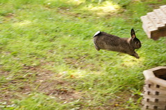 Binky Time (Tjflex2) Tags: boy pets canada cute rabbit bunny bunnies nature girl vancouver mammal furry pretty bc friendship fuzzy conejo small adorable cuddly coelho playful binky lapin usagi krolik kanin lagomorph toki lepus fenek iepure muyal kelinci ilconiglio coinin sungura leporidea