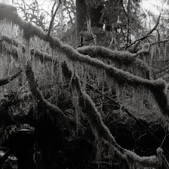 Even the smallest branch (that analogue guy) Tags: trees washington moss 11 d76 bronica 400 hp5 olympics olympicnationalpark ilford hohrainforest sqai hallofmosses zenzanon80mmf28ps