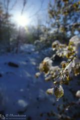 La primavera si scongeler (EmozionInUnClick - l'Avventuriero's photos) Tags: foglie bokeh sole luce ghiaccio