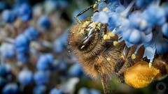 Bee Working  IMG_9906_5 (fredpiv) Tags: macro closeup canon bugs bee abeille apis 70d canonmpe65 canoneos70d canon70d naturalinsect insectesnaturels