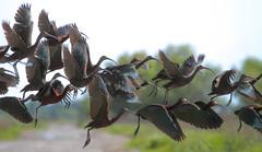 White-Faced Ibis Crossing (Atascaderocoachsam) Tags: ibis sacramento birdwatcher whitefacedibis yolobypasswildlifearea