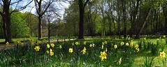 Daffodil Fields Forever (langkawi) Tags: park city flower berlin green town spring downtown centre meadow wiese blumen center oasis gelb daffodil fields grn printemps tiergarten frhling yelloe narzissen osterglocken oase grosstadt