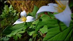 Suiattle 7 (@GilAegerter / klahini.com) Tags: flowers outdoors trillium nikon hiking wildflowers nikkor nikond3200 1855mmf3556gvr suiattlerivertrail