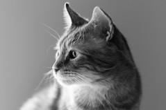 Leo (Howard Yang Photography) Tags: portrait pet cat feline tabby orangetabby petportrait xf56mm fujifilmxpro2