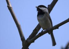 Black-capped Chickadee_5074 (Mike Head - Jetwashphotos) Tags: canada bc singing song britishcolumbia delta chickadee perched blackcappedchickadee territory songbird territorial westerncanada westernregion