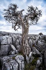 Hawthorne Tree, Twistleton Scar (Kwame Photography) Tags: landscape fuji yorkshire lonetree yorkshiredales 1024 hawthorntree landscapephotography twistletonscar fujilove fujixt1 kwaphotography kwameasiaw kwaphotography2016