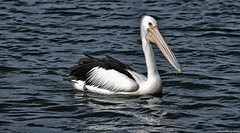 Pelican cruising (Merrillie) Tags: sea nature water animals fauna bay nikon scenery waterfront wildlife australia pelican views nsw brisbanewater woywoy d5500 nswcentralcoast centralcoastnsw