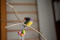 這啥臉? (Jenny Yang) Tags: pet bird lady finch gouldian 小呆 胡錦鳥 小蕃茄