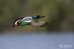 Northern Shoveler (male) - Canard souchet (mle) (Gilles Archambault) Tags: fab hat is