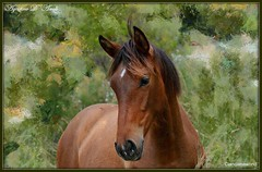 Cavallo - Aprile-2016 (agostinodascoli) Tags: art texture nature photoshop nikon digitalart nikkor cavallo sicilia puledro