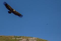 ItsusikoHarria-55 (enekobidegain) Tags: mountains montagne vultures monte euskalherria basquecountry bui pyrnes pirineos mendia buitres paysbasque nafarroa pirineoak bidarrai saiak vautours itsasu itsusikoharria