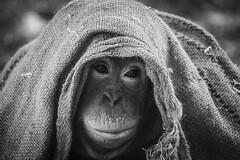 vivitar 135mm f3.5 zoo1 (Kalinus) Tags: nature animals zoo monkey fuji bokeh orangutan fujifilm vivitar 135mm