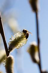 Tarhamehilinen (Apis mellifera), European honey bee (Juha-Matti Markkanen) Tags: macro bee sigma105mm