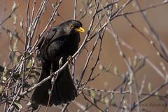 Mirlo comn macho (Turdus merula) (jsnchezyage) Tags: naturaleza bird fauna birding ave turdusmerula mirlocomn