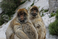 Barbary macaques, Rock of Gibraltar (x70tjw) Tags: monkey gibraltar barbarymacaque