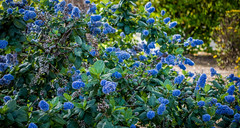 Blue flowers along the way (randyherring) Tags: california ca flowers blue plant green leaves us flora afternoon unitedstates suburban outdoor bloom losgatos bloomingflower