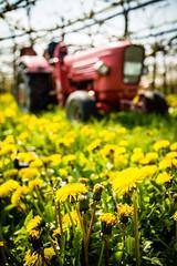 IMG_8711.jpg (vossemer) Tags: de deutschland jahreszeiten natur pflanzen blumen verkehr traktoren frhling blten trecker niedersachsen lwenzahn jork frhjahr