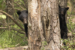 Mom and Cub (chops411) Tags: bear canon cub tn tennessee wildlife gatlinburg blackbear greatsmokymountains cadescove greatsmokynationalpark canon7dmarkii