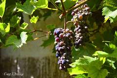 Grab a grape (cony.wiedenig) Tags: nature fruits natur grape trauben frchte weintrauben conywiedenig