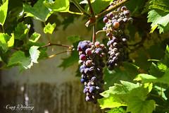 Grab a grape (cony.wiedenig) Tags: nature fruits natur grape trauben frchte weintrauben conywiedenig
