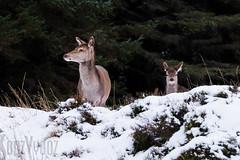 Red Deer (Sue_Hutton) Tags: winter cold animals landscape outside scotland countryside spacious reddeer grandeur glencoetrip fujiholics january2016