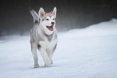 Manfred (Martyna Og) Tags: winter dog snow puppy malamute doggy wolfdog doginaction arcticdog