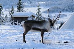 Reindeer in tourist camp (TerjeLM) Tags: winter norway reindeer norge vinter skiing rein skitur troms troms reinsdyr kvalya lilleblmann pattedyr