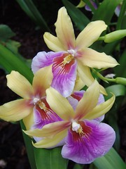 Kew Gardens Orchid Festival Opening Day on 6 February 2016 (32/66) (Kam Hong Leung.) Tags: park wood family winter brazil sculpture baby plant orchid tree london nature festival kew fauna garden lunch leaf kid spring pub flora child wine spirit wildlife father mother spouse son parent latin tropical hunter volunteer kam partner rbg temperate matheo greenhouse igpoty botanicgarden kewgardens glasshouse palmhouse orchidfestival brianpitcher rbgkew friendofkew patronofkew princessofwalesconservatory yourkew carlosmagdalena elisabiondi beatriceleung kamhongleung leungkamhong londonpark naturalneighbourhood royalbotanicgarden kewvolunteer genevievegravel internationalgardenphotographeroftheyear thecricketers ladyslipper nashgallery