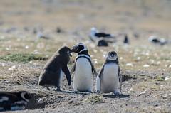 Pinguino de Magallanes (E.Chiereguini) Tags: chile wild nature birds fur duck wildlife ibis seal punta arenas nautre magallanes cormoran pinguins blackfaced cormorán juarjal