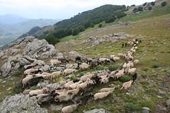 PianelluFuntana Ghjalata troupeau (2) (tourismeoriente) Tags: corse corsica oriente orientale funtana troupeau pianellu ghjalata