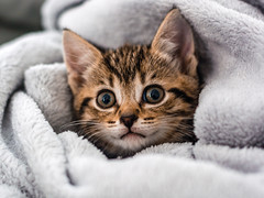 Peek a Boo (SinthSiva) Tags: portrait pets cute nature animals cat 50mm furry nikon kitten flickr 18 d5200