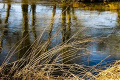 Gold on the banks! (Macro light) Tags: winter water rivers worcestershire goldengrass riverteme