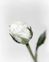 High-key [Explore] (nillamaria) Tags: rose highkey ros fotosondag fs160207