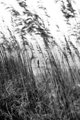 Beach Grass - Virginia BW (Don Thoreby) Tags: grass virginia solitude peaceful chesapeakebay beachgrass goldengrass easternus kipotopeakeshore